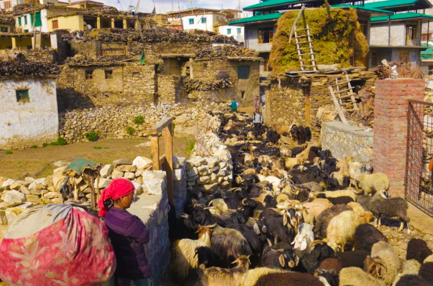 The traditional mud and stone houses, narrow lanes and traffic of Nako Village