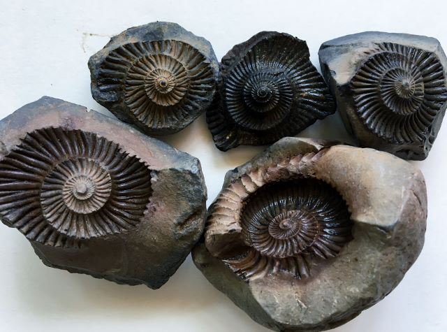 Cephalopoda fossils of Fossil Village Langza, Spiti Valley