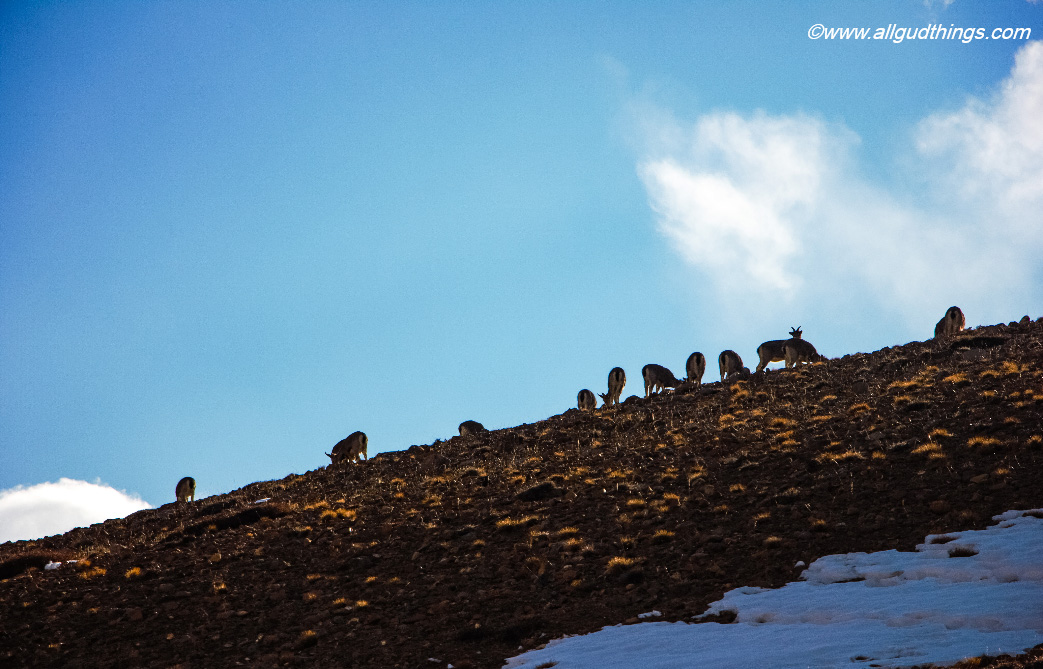 Herd of grazing Blue sheep in Spiti Valley: On the way to fossil village langza