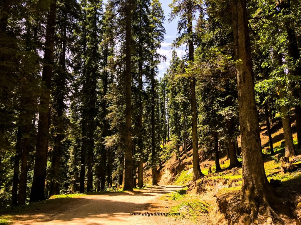 all Deodar Trees on the way to chanshal pass