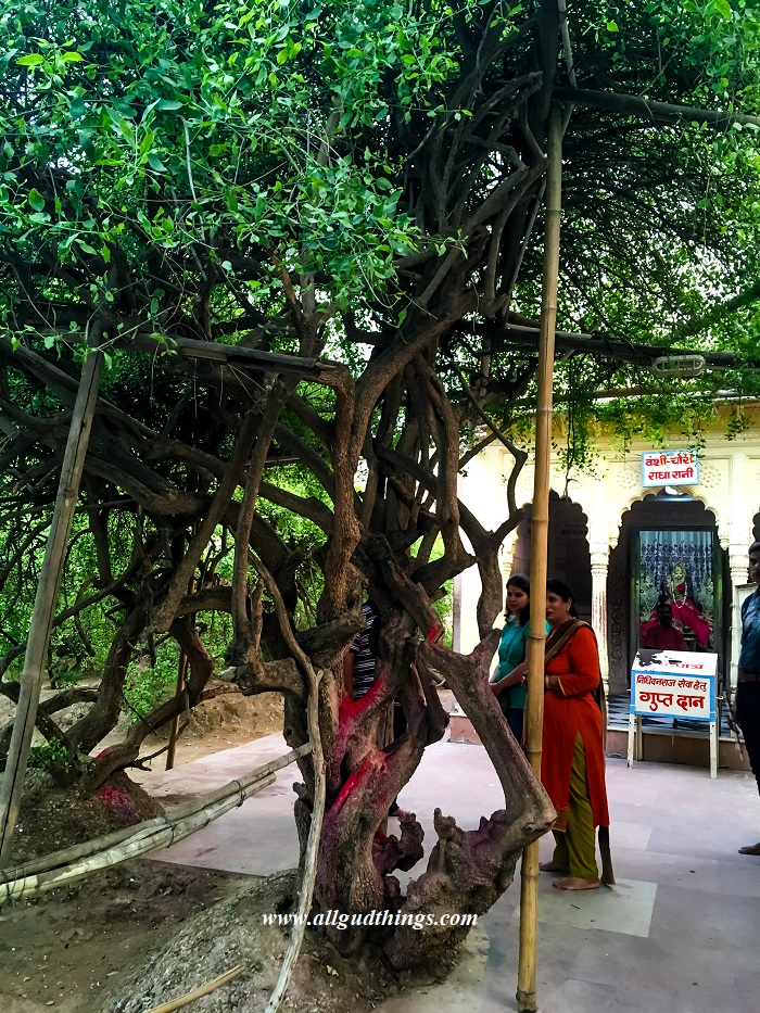 Tree which resembles Idol of Lord Krishna and Radha Rani Temple at Nidhivan in Vrindavan