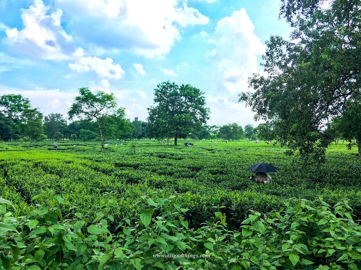Orthodox Manufacturing Process of Harvesting in Siliguri - Darjeeling Tea