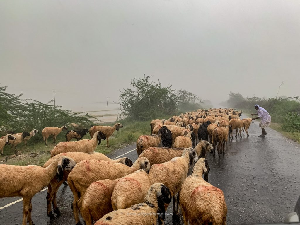 Herds of Sheep near Sambhar Lake